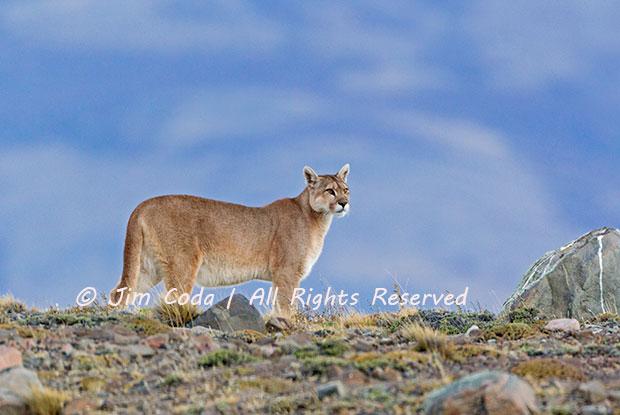 A puma, aka mountain lion, walks along a ridge.