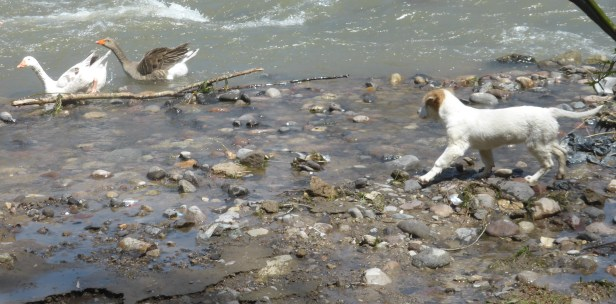 Puppy chasing geese