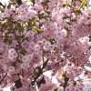「桜にメジロ」、きたーっ!キタ━━━━(゚∀゚)━━━━!!!!