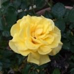 最後に残った黄色いバラ、サンフレア&ツツジ