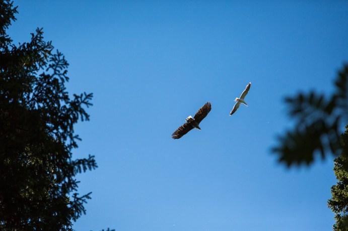 Eagle-Versus-Gull