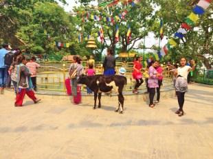 A random cow at Swayambhunath Temple