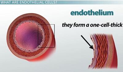 endothelium
