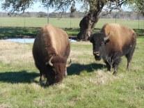 2-bison