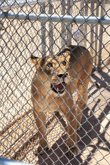 Lion Habitat Ranch.
