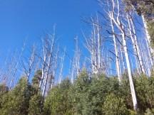 Blue skies, dead trees, regrowth