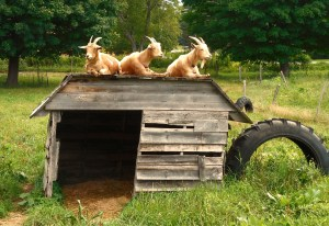 004-vermont-goats-on-a-roof