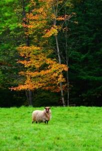 012-v-vermont-sheep