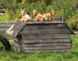 021-vermont-goats-looking-back