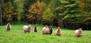 030-vermont-7-sheep