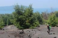 cemara krakatau
