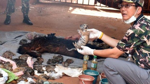 เจ้าหน้าที่กรมอุทยานแห่งชาติกับซากลูกเสือที่เสียชีวิต : ภาพจากนสพ. the SMH ต้นฉบับจากสำนักข่าว AP