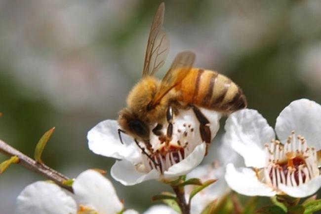 ผึ้งงานขณะดูดน้ำหวานจากเกสรดอกแมดูก้า : ภาพจากสำนักข่าว ABC