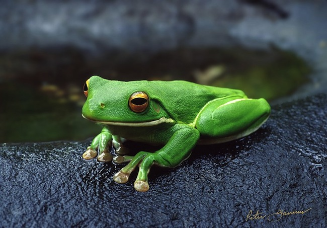 กบต้นไม้สีเขียวหรือ green tree frogs เป็นมิตรกับมนุษย์จนสามารถนำมาเป็นสัตว์เลี้ยงได้ : ภาพถ่ายโดยนาย Peter Jarver