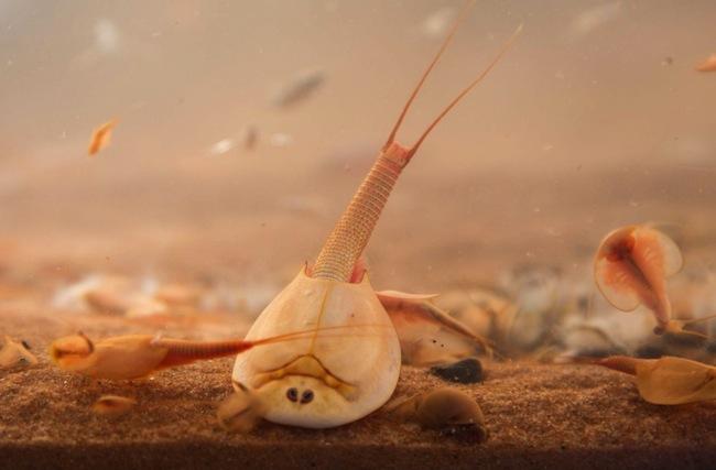 กุ้งกระดอง หรือ shield shrimp : ภาพจากนสพ. bushbliz.org.au