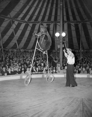 During an act of the new clown-owned circus, Hans Grocker shows his high-riding bear during the opening run in Hamburg, Germany on March 27, 1951. The bear is programmed as the only one in the world which can ride a bicycle as high as this one. He gets on and off with a ladder. (AP Photo/Brueggemann)