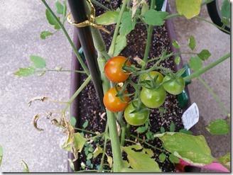 2018-07-27-tomato (1)