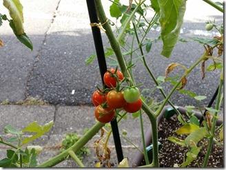 2018-07-30-tomato (1)