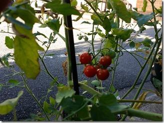 2018-07-31-tomato (3)