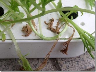 Handsome-green-lettuce (2)