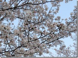 JT-sakuranotoorinuke2019-04-06 (7)