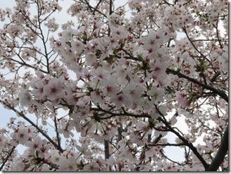 jt-sakuranotoorinuke-4-12 (11)