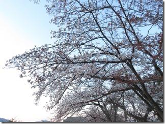 nagaokatenmanguu-sakura-raitoappu (10)