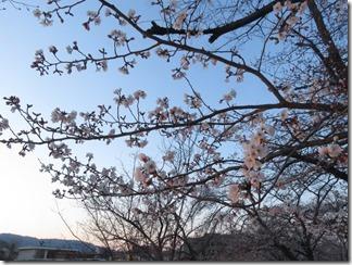nagaokatenmanguu-sakura-raitoappu (17)
