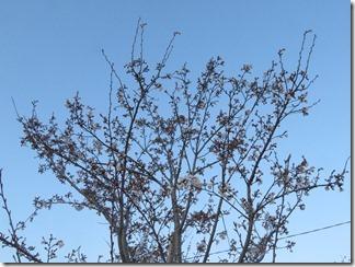 nagaokatenmanguu-sakura-raitoappu (6)