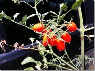 tomato-2018-08-02 (7)