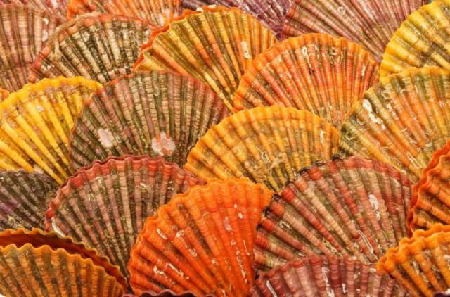 綺麗なヒオウギ貝の殻
