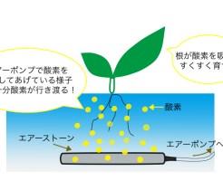 水耕栽培でエアーポンプを使うことにより適切に根に酸素を供給している様子。