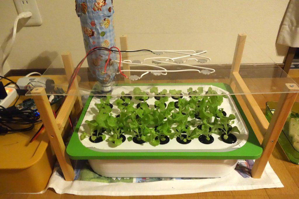 水耕栽培の夏対策でポンプを24時間稼働に変更。開始前の写真。