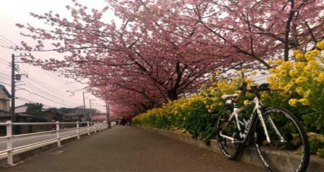 三浦海岸に河津桜を見に行ってきた話