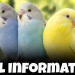 budgie bird information in hindi