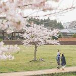 源氏山公園の桜2018の開花時期と穴場の駐車場情報!ライトアップと場所取りは何時から?