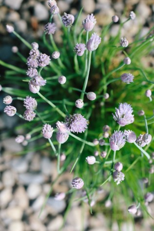 chive-blossoms-1