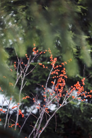 woodstock-wassail-weekend-berry-bushes-1