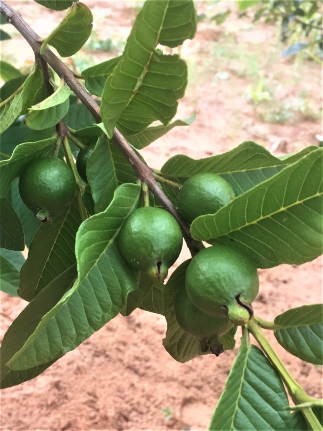 One of several fruit trees in the yard -- this one is a guava tree!