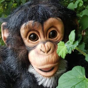 Chuck The Chimp 3
