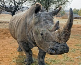 Close up with a male Rhino