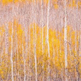 Young Aspen Grove, North Rim — Grand Canyon, AZ © jj raia