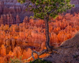 FIns in Late Afternoon - Bryce Canyon NP, UT © jj raia