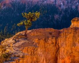 Solitary Pine - Bryce Canyon NatNP, UT © jj raia