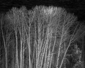 Sunlit Tips - Dixie National Forest, UT © jj raia