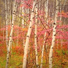 Young White Birch Stand — Delaware Watergap, NJ © jj raia