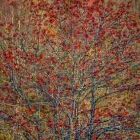 Red Maple in Spring Bud — Blue Ridge Parkway, NC © jj raia