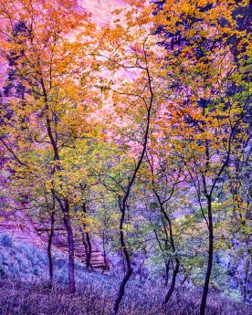 Young Saplings — Virgin River, Zion NP © jj raia
