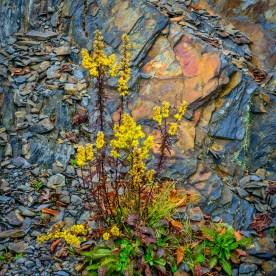 Goldenrod and Slate Wall — Smoky Mountain National Park, NC © jj raia