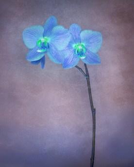 Orchid Variation No. 1 © jj raia